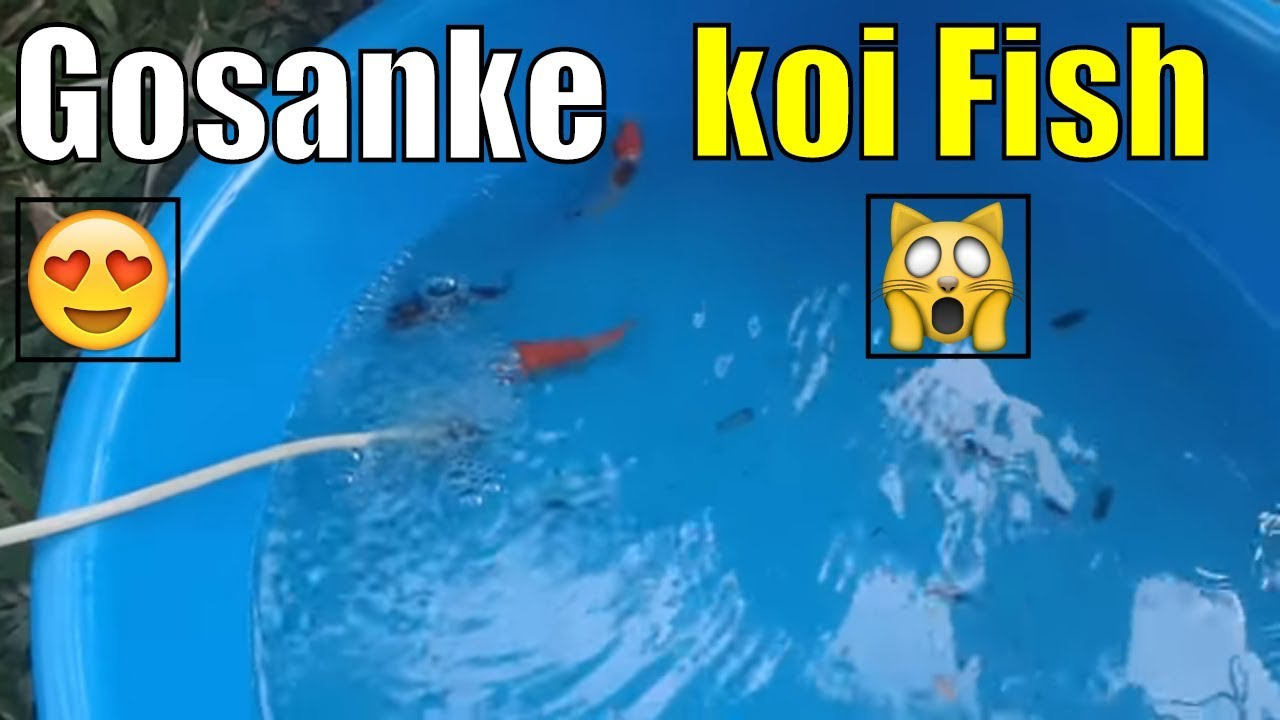 Gosanke Koi Fish What Does Gosanke Koi Meaning Youtube