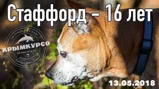 16-летний стаффордширский терьер живет в Крыму. Одна из самых старых собак этой породы в России!