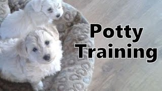 How To Potty Train A Chonzer Puppy - Chonzer House Training Tips - Housebreaking Chonzer Puppies
