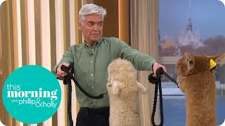 Hilarious Moment Phillip Schofield Gets Spat in the Face by Alpacas | This Morning