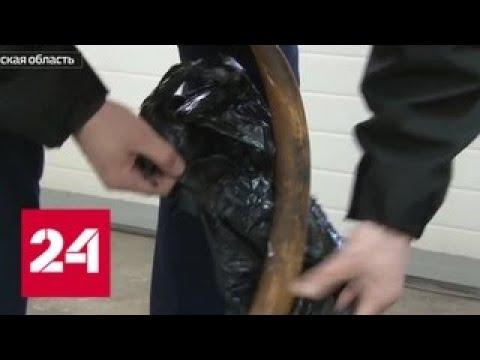 Бизнес на костях: как устроен рынок продажи бивней мамонтов - Россия 24
