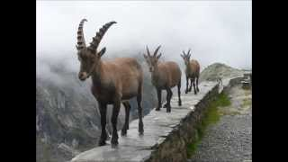 what is an Ibex