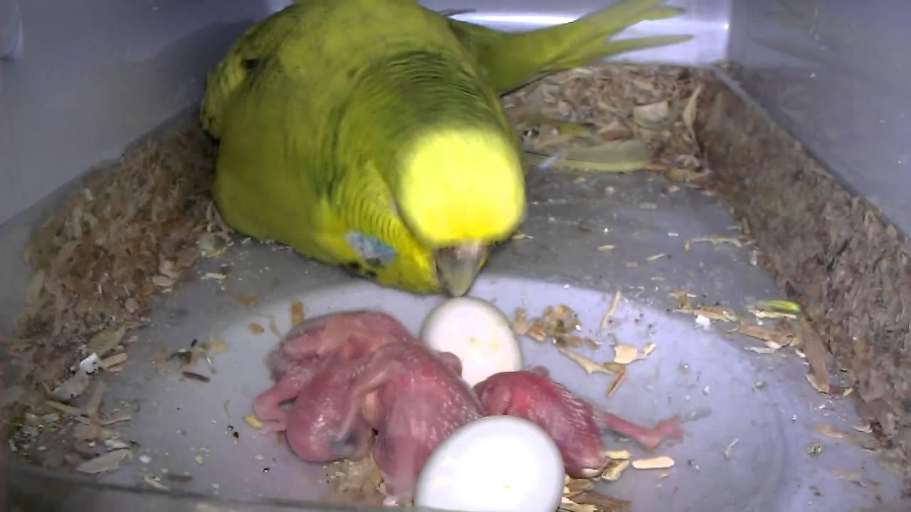Budgie Breeding Journal 6 Pair 1 UPDATE 10 28 2012