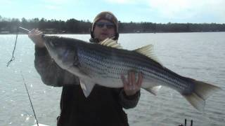 Lake Hamilton Arkansas 35lb striper www.stripaholic.com Lake Tawakoni guide