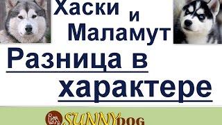 видео Отличие: Маламут и Хаски. Разница между собаками