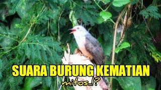 Download lagu Suara Burung Kedasih Di Alam (Cacomantis Merulinus)