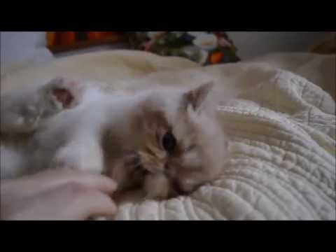 Exotic shorthair Persian kitten | FunnyCat TV