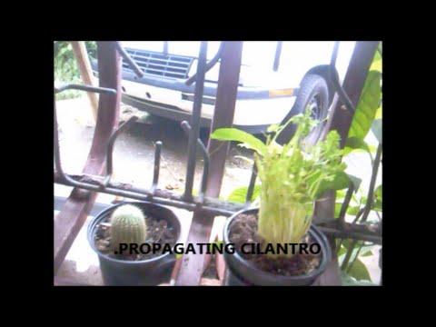 Propagating Cilantro Youtube,Bird Wings Folded