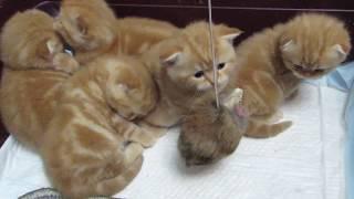 Шотландские котята - 1 месяц.