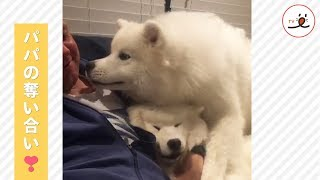 2匹のサモエドさんが繰り広げるパパの可愛い奪い合い🐕✨【PECO TV】 thumbnail
