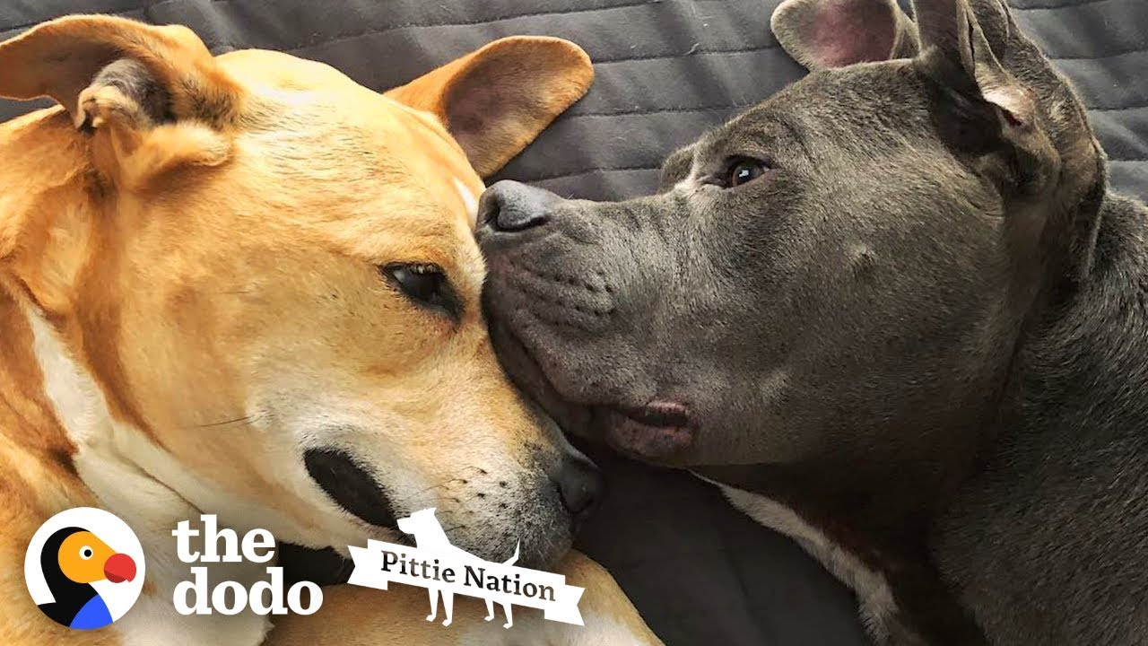 Two Rescued Pit Bulls Comfort Each Other Every Day | The Dodo Pittie Nation