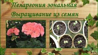 видео Пеларгония зональная. Выращивание из семян и уход за цветком