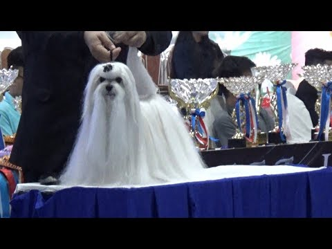 International Dog Show 2019  -  Shih Tzu Dog Breed - Cute Dogs