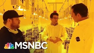 The 2016 Election And The Marijuana Vote | MSNBC