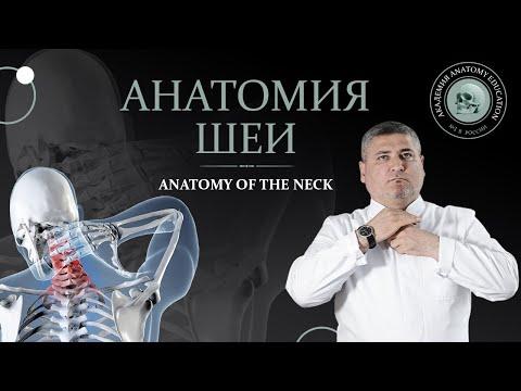 Анатомия шеи.Мышцы, треугольники