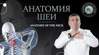 Анатомия шеи.Мышцытреугольники и фасции шеи. Anatomy Of The Neck.Muscles Triangles And Fascia Neck
