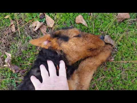 Airedale Terrier Puppies for Sale Video - S & S Family Airedales - Older Airedale Puppies Playing
