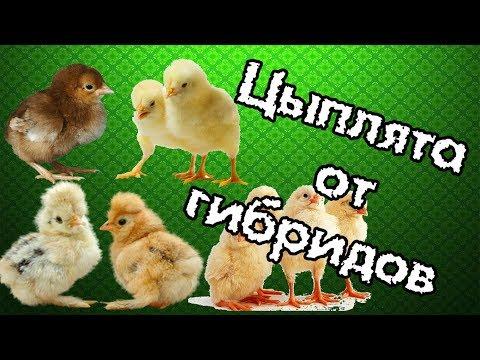 Цыплята-от-гибридов-(кроссов)