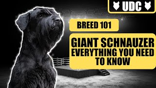 A GIANT SCHNAUZER Is Not A Family Guardian  EVERYTHING YOU NEED TO KNOW ABOUT THE GIANT SCHNAUZER