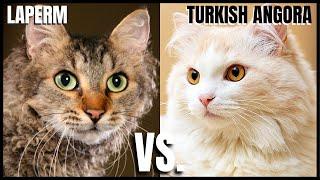 LaPerm Cat VS. Turkish Angora Cat