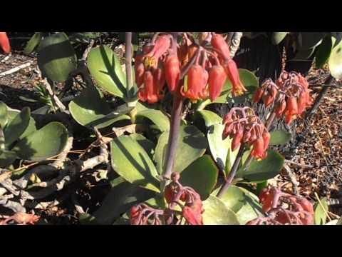 CALANCHOE arbustivo: Kalanchoe farinacea (www.riomoros.com)