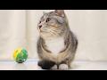 cute cat looking around restlessly / 【猫 かわいい】キョロキョロし続ける猫
