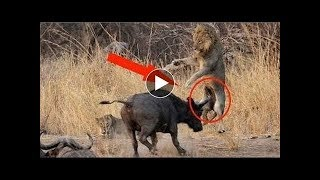 ライオン対バッファローの戦いのコンパイル.