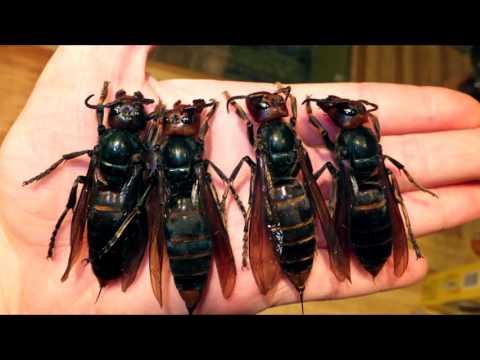 Вопрос: Что это может быть, насекомое, как пчела, размером 5 см?
