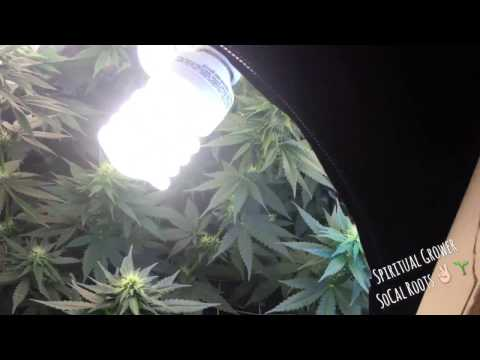 Cfl Grow Tent Week 3 Flowering Durban Widow