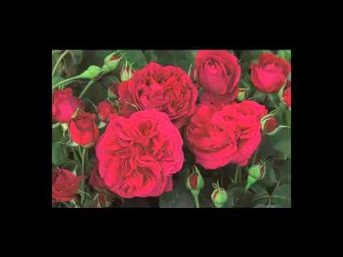 Розы Девида Остина видео - лучшие розы мира