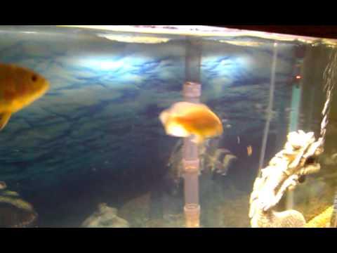 lemon oscar fish - photo #33
