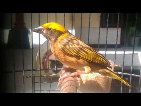 Cara Memancing Burung Manyar Yang Malaes Bunyi Agar Racin Gacor Dan Ngplong