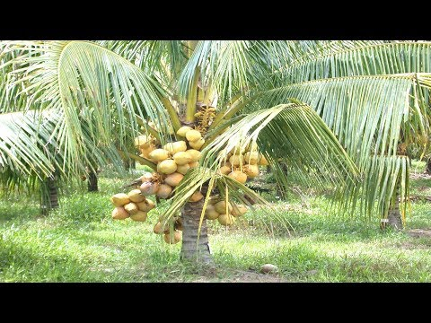 Starting a Business - Coconut tree Farming Business Ideas and Coconut Farm Maintenance