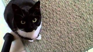 飼い主の歌声止める黒白猫、爪を立て立てカメラを見つめて