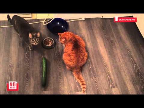 Видео: огурец напугал кота до безумия