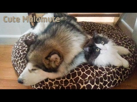Thumbnail for Cat Video Malamute and Cat Battle for Seat