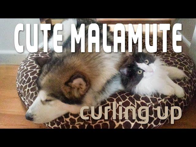 Alaskan Malamute loving Norwegian Forest Cat