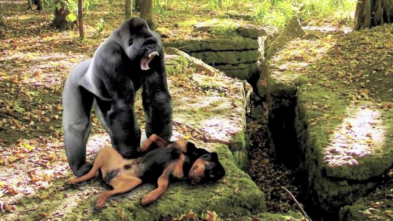 GORILLA ATTACK DOG!!! NEW!!! - YouTube