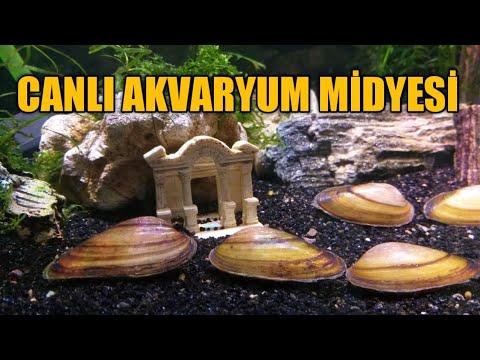 canlı-akvaryum-midyesi-hakkında-bilmemiz-gerekenler-tatlı-su-midyeleri-acı-balık
