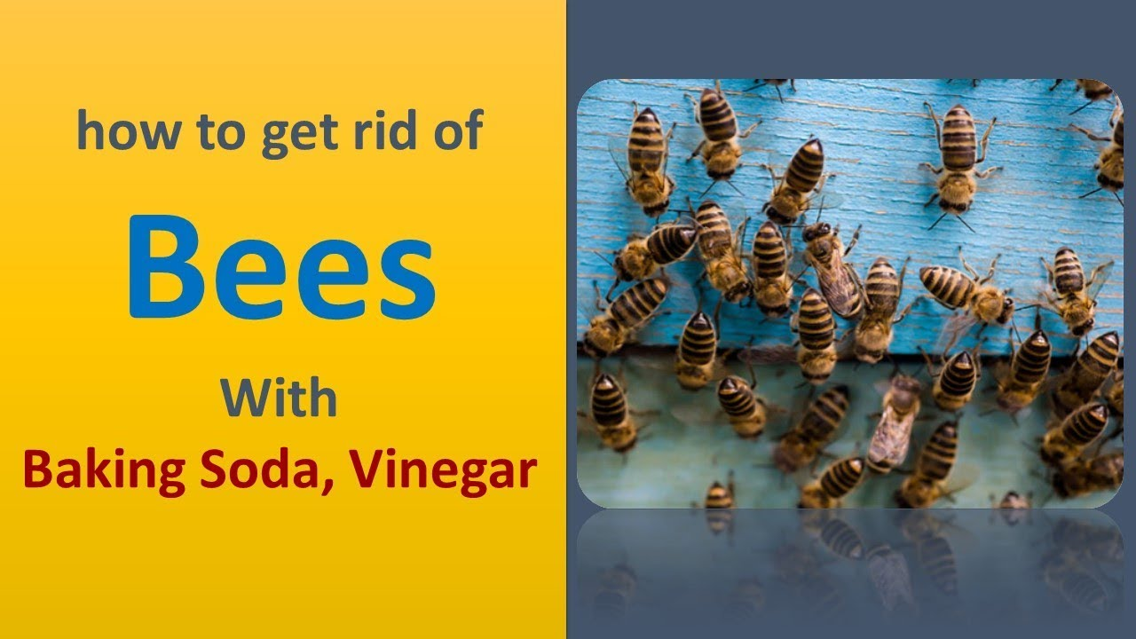 How to get rid of bees with baking soda and vinegar youtube how to get rid of bees with baking soda and vinegar ccuart Images