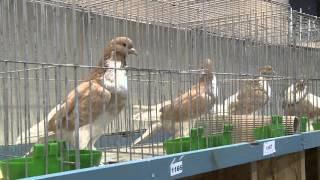 Wystawa gołębi