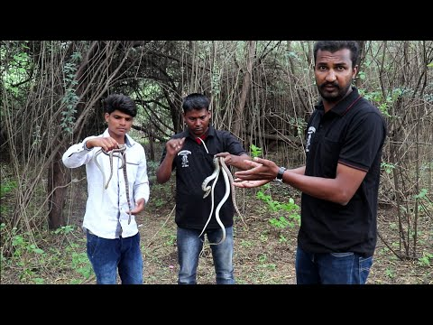 Snake release time | Wildlife rescue society Ahmednagar Maharashtra | contact number 9209640006