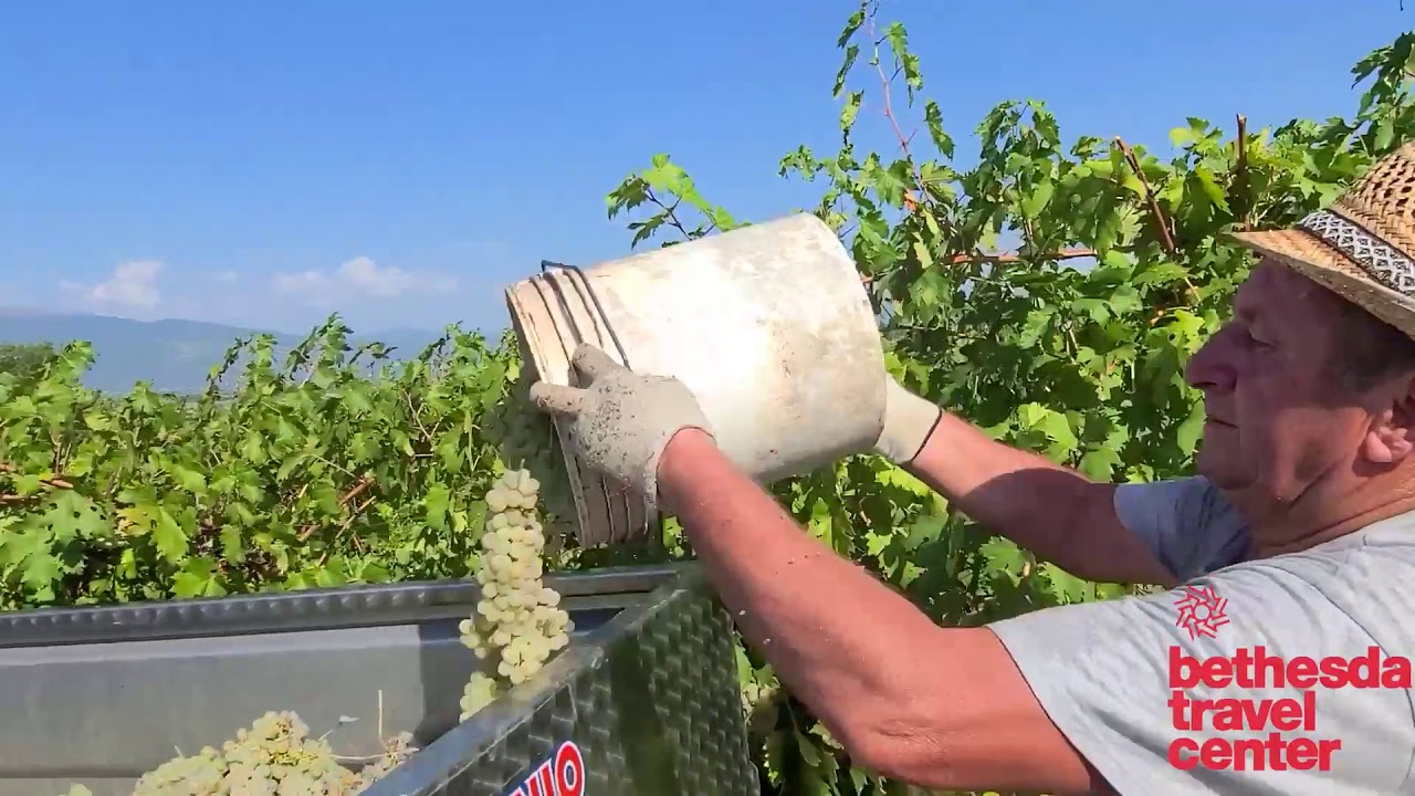 Explore a Beautiful Umbrian Vineyard during the Grape Harvest   Discover Italy w/ Guido!
