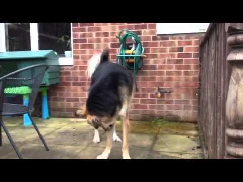 Crazy Kuchi dogs