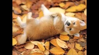 柴犬の画像を集めてみました 可愛くてキュンキュンします。もふもふした...