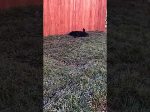Tibetan Mastiff Puppy Fluff Playing In The Grass