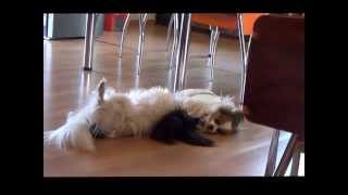 Two small papillon dogs playing