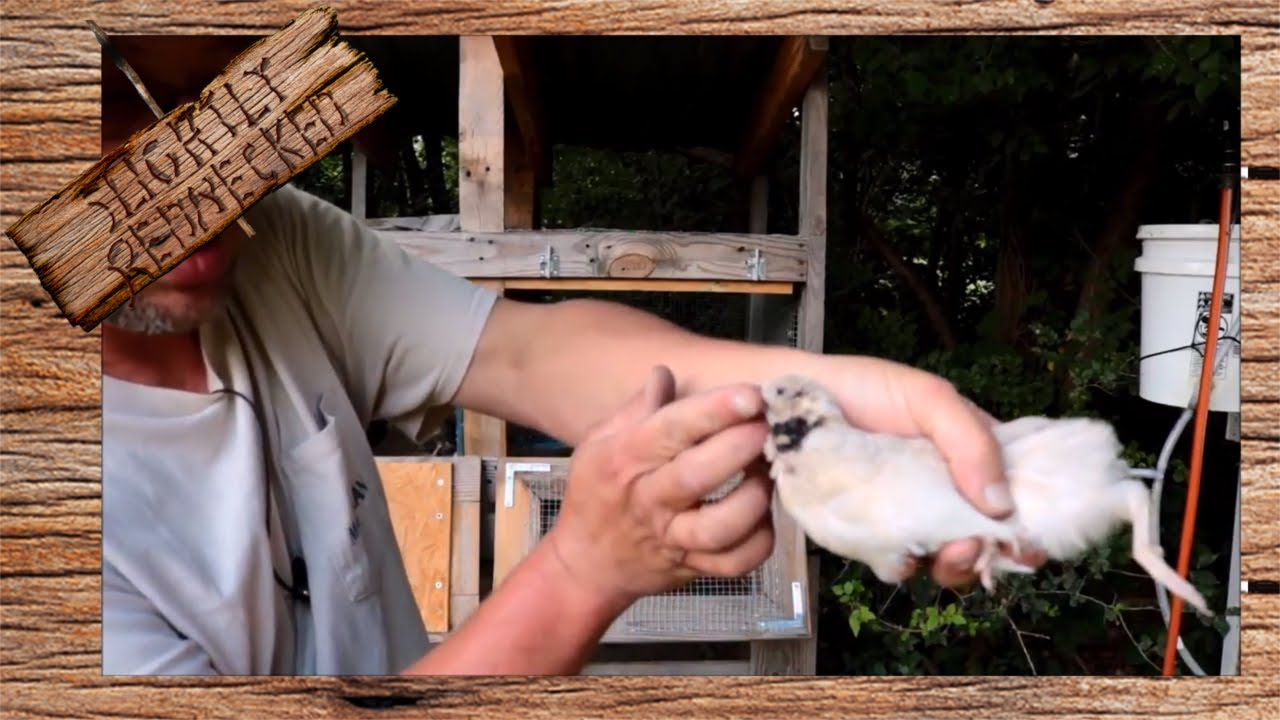 How To Keep Quail From Fighting  The Sr Quail Update 62617