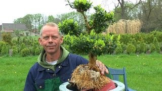 Buxus on the Rock, make a Bonsai :)