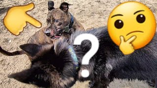 How Does My Dog React to Unfriendly Pit Bull at Off Leash Park?